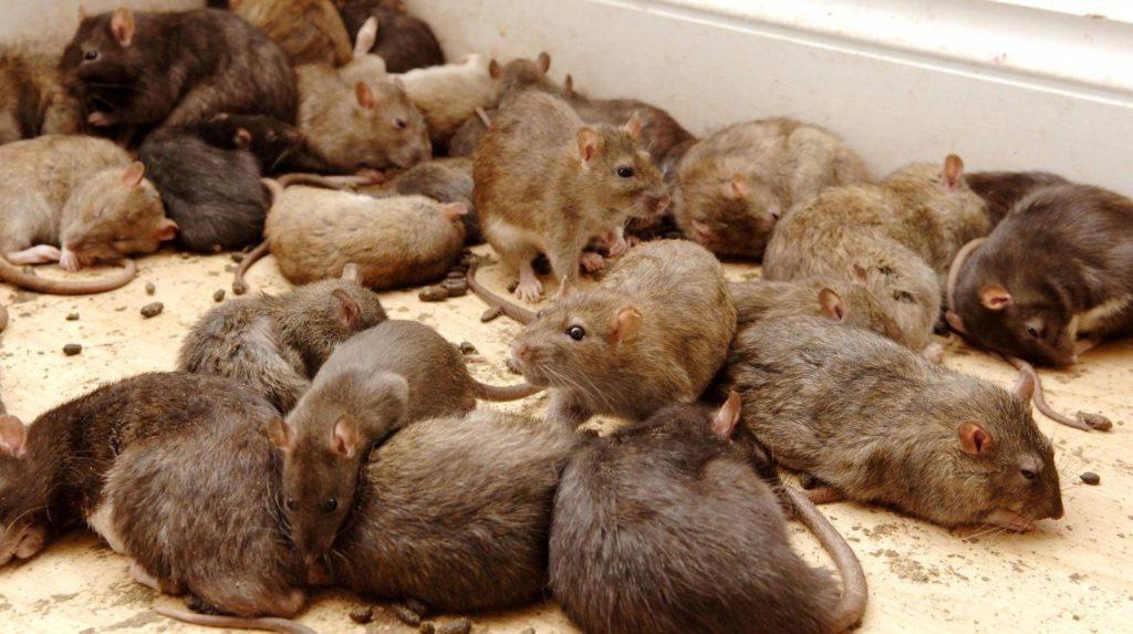 Грызуны вред для здоровья в Магнитогорске