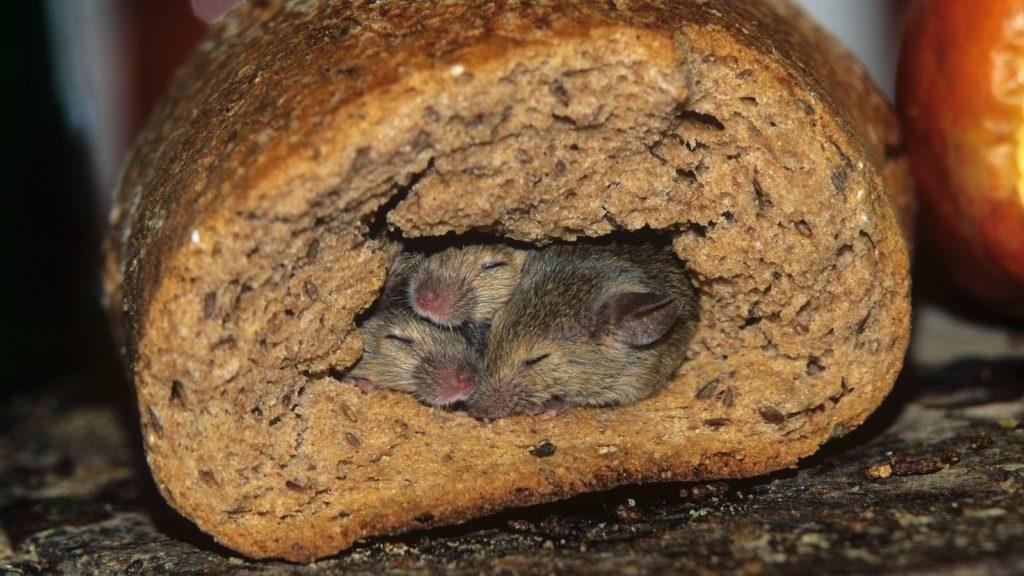 Порча продуктов грызуны в Магнитогорске